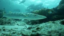 A Bigeye Barracuda Sphyraena Forsteri With Bumphead Parrotfish School Background Silhouette Overhead Close