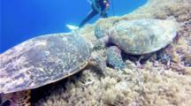 Hawksbill Turtles Fighting And Feeding