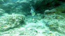 Titan Triggerfish With Cleaner Wrasse Feeding On Sea Cucumber
