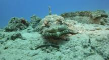Crocodilefish Face On Coral Reef