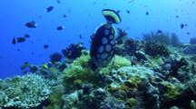 Clown Triggerfish Feeding On Coral Reef Eating Behavior