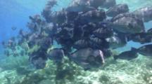 Bumphead Wrasse Parrotfish School Swimming And Discharging Behavior