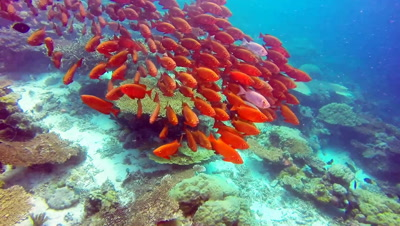 A huge school of Bigeye Squirrelfish mating aggregate over Hard coral reef in crytal clear water at Grassland dive site near Ulong Channel in Palau