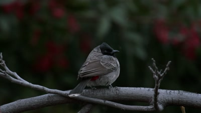 Red-vented bulbul flashes vent