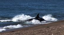 Orca Whale (Orcinus Orca) Stranding And Hunting Sea Lions Pups