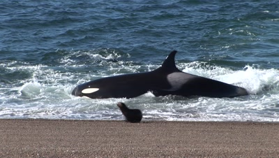 Orca Whales Pod Stranding And Hunting Sea Lions Pups