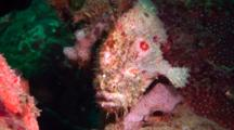 Grey Shaggy Anglerfish Sits On Hard Coral, Hunts