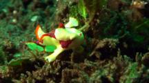 Yellow Clown Anglerfish Walks On Seaweeds, Hunts In Water Columns