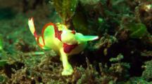 Yellow Clown Anglerfish Walks On Seaweeds, Captures Prey In Water Columns