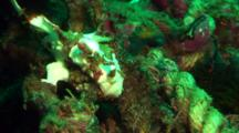 White Clown Anglerfish Rests On Rope