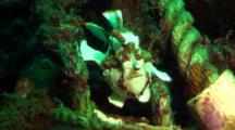 White Clown Anglerfish Walks On Rope, With Cardinal Fish