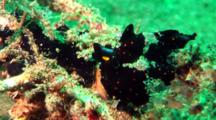 Black Painted Anglerfish Sits On Coral
