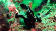 Black Painted Anglerfish Sits On Coral, Turns