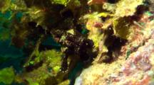 Black Painted Anglerfish Walks On Soft Coral