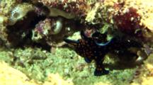 Black Painted Anglerfish Climbs On Coral