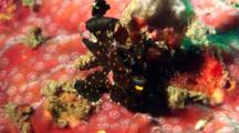 Black Painted Anglerfish Sits On Hard Coral With Hermit Crab