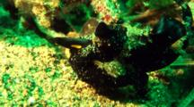 Black Painted Anglerfish Sits In Front Of Coral Captures Prey