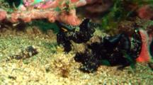 Black Painted Anglerfish Walks In Front Of Coral