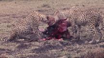 Cheetahs Feeding On Killed Wildebeest