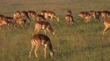 Thompson Gazelle Herd