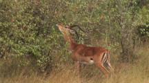 Thompson Gazelle Eating