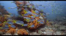 Yellowtail Fusaliers On Soft Coral And Hard Coral Reef