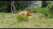 Male Lion Mates Female In Green Grass