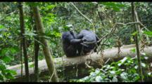 Chimpanzee Pair Grooming On Log