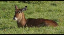Waterbuck Resting In Green Grass