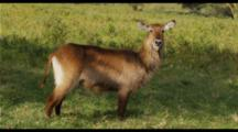 Waterbuck In Green Grass