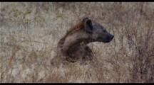 Hyena In Grass