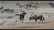 Oryx At Waterhole