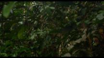 Orangutan And Baby Move Through Trees