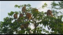 Proboscis Monkeys In Tree