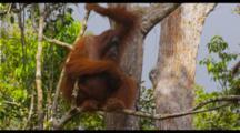 Orangutans In Trees