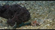 Black Frogfish Moves