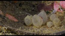 Hatching Flamboyant Cuttlefish Eggs