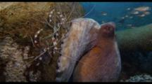 Common Reef Octopus And Banded Coral Shrimp