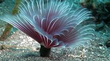 Purple Feather Duster