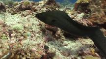 Swimming Moray Eel