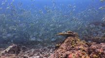 Large Aggregation Of Sailfin Snappers