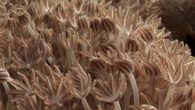 Xenia Coral Polyps Feeding
