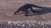 Komodo Dragon Walks At Water's Edge, Flicks Tongue