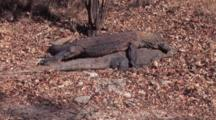 Komodo Dragons, Mating