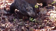 Komodo Dragon Walks In Leaf Litter, Flicks Tongue