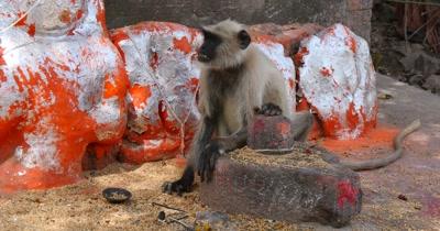 Indian Langur Monkey
