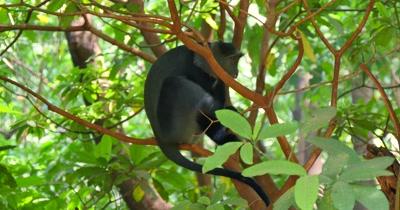 Blue Monkey in Tree