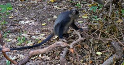 Blue Monkey on ground
