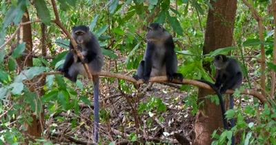 Three Blue Monkeys in Tree
