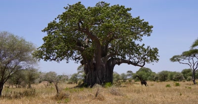 Giraffe and Giant Baobab Tree